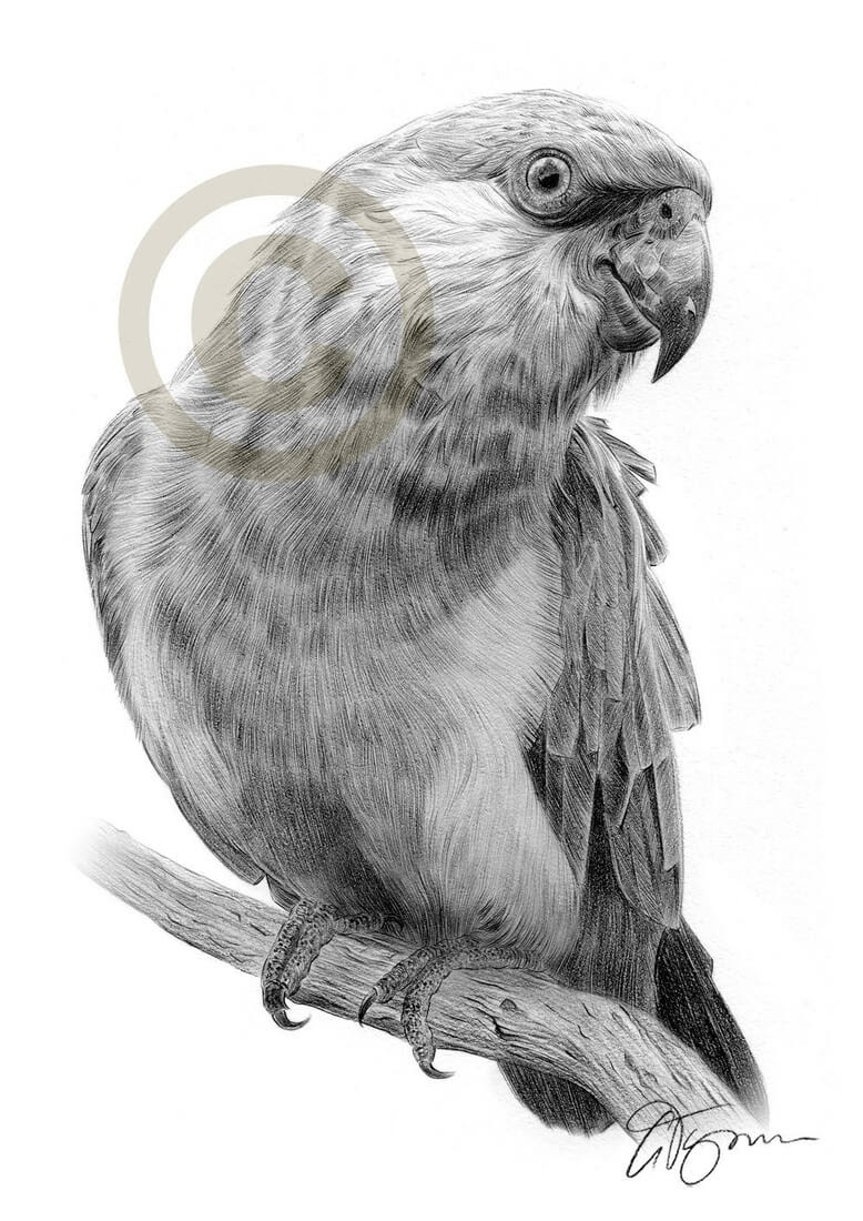 12-Parrot-Gary-Tymon-Wildlife-and-Domestic-Animal-Pencil-Drawings-www-designstack-co