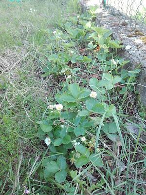 Maggio nell'orto biologico: fragole in fiore