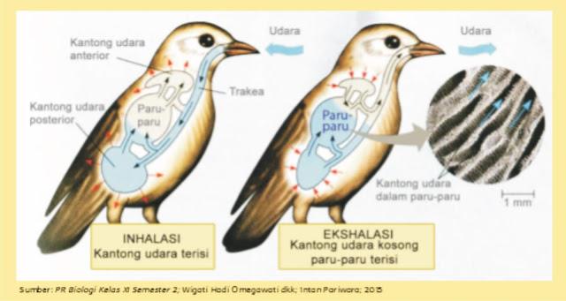 Alat dan Sistem Pernapasan pada Burung (Aves)
