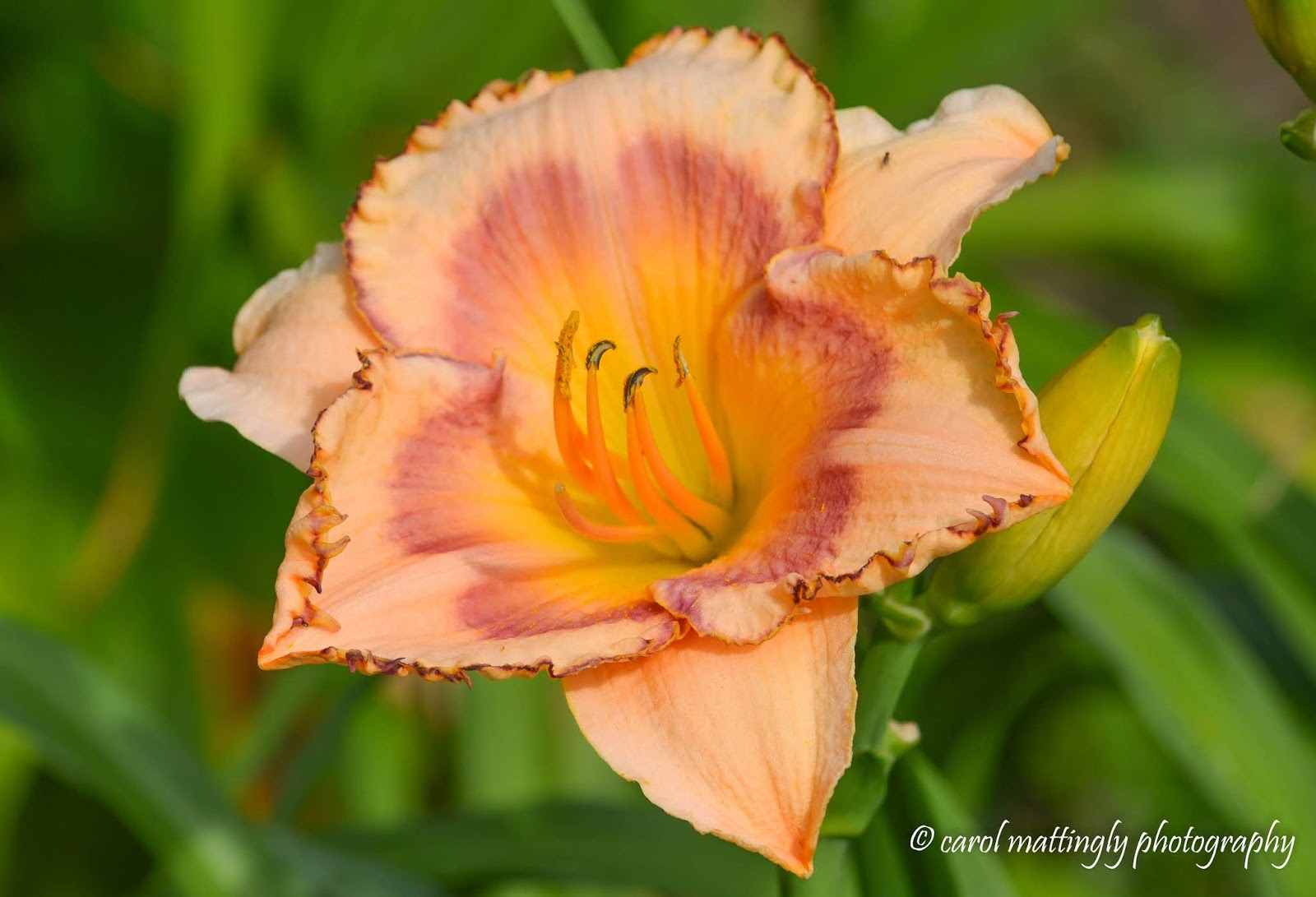 Carol mattingly photography orange peach ruffled apricot as i walked around the flower gardens i happened upon this beautiful day lily with a two toned hue i had never seen this species before nor had i seen the izmirmasajfo