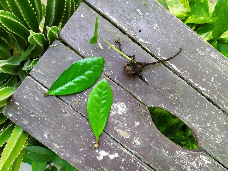 jak rozmnożyć rozsadzić kwiat zamiokulkas