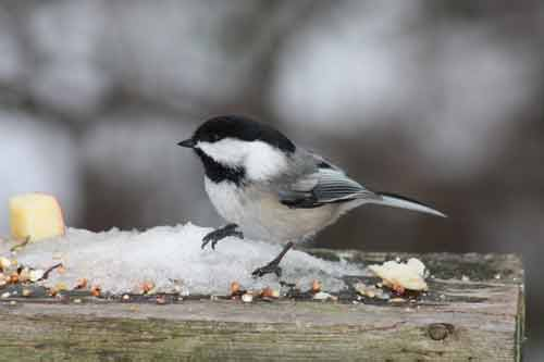 Chickadee At Algonquin Park in Winter.