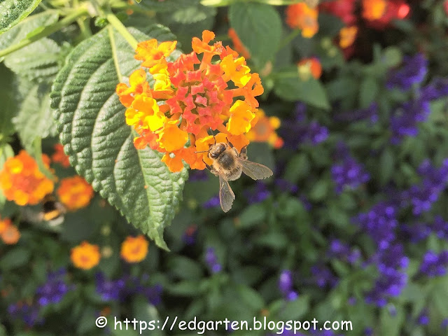 Biene auf Lantana