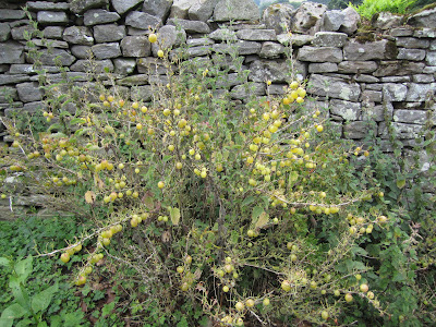 Ribes uva-crispa – Gooseberry