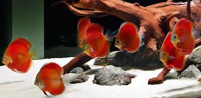 Harga Ikan Discus Red Melon
