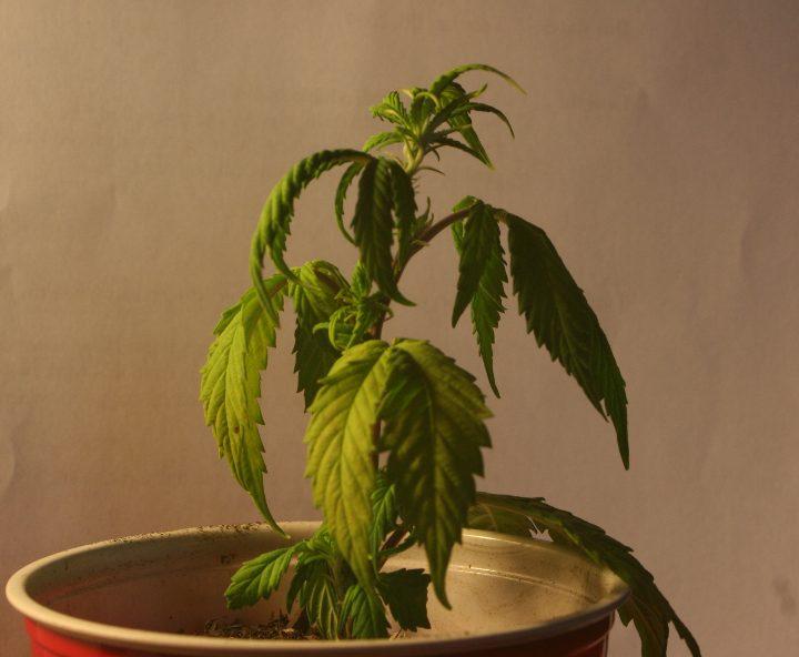 Grlog Grow Blog 3v Marijuana Problems Amp Symptoms