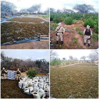 Maconha erradicadas em Monte Santo