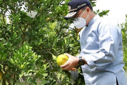 Petani Banyuwangi getol  kembangkan jeruk dekopon