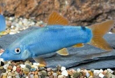 ikan air tawar terindah