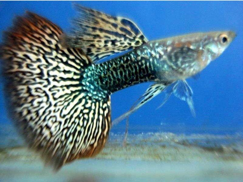 Harga Ikan Guppy Impor