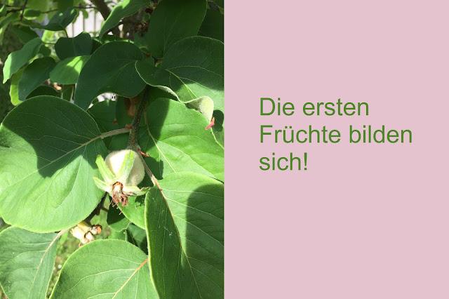 Die ersten kleinen Früchte am Quittenbaum
