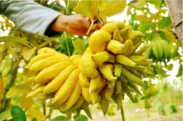 Bunch Of Buddha,s hand fruit