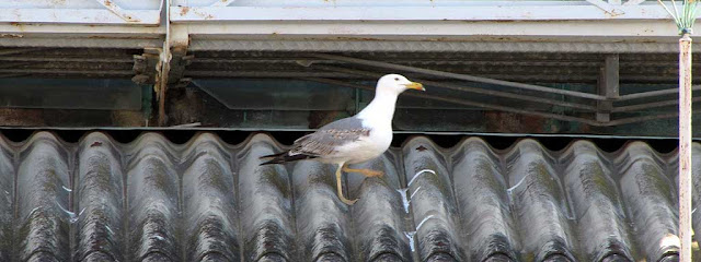 Gulls on the roof, Mercato Centrale, Livorno