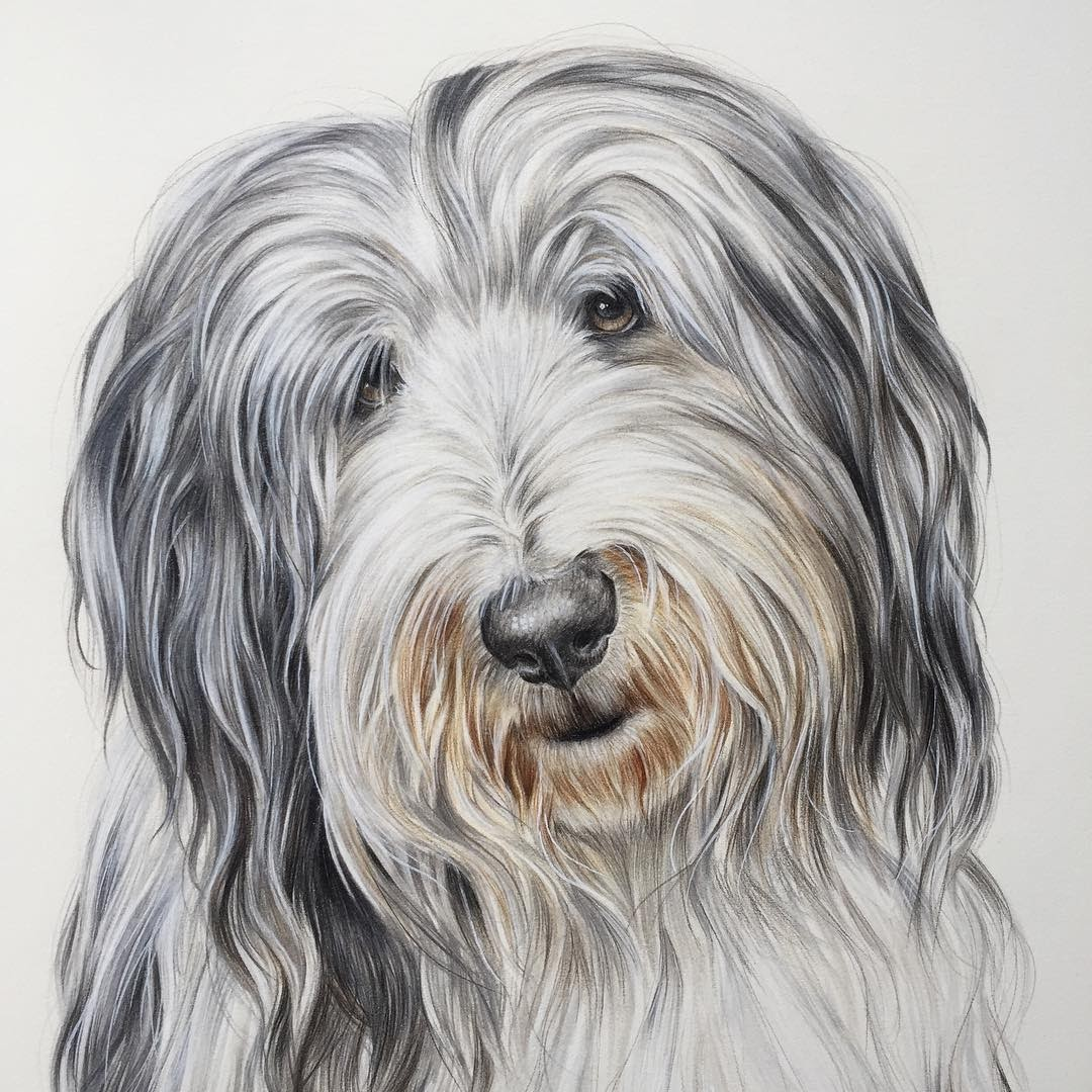 06-Bearded-Collie-Zoe-Fitchet-Pet-Portraits-Cats-and-Dogs-Drawings-www-designstack-co