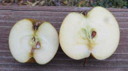 The cut halves of two apples, showing brown pips and white flesh.