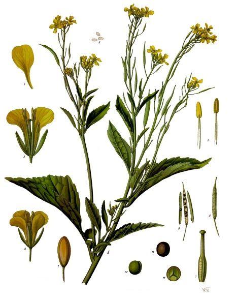 Hình ảnh CẢI CANH - Brassica juncea - Nguyên liệu làm thuốc Chữa Ho Hen