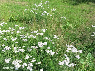 lawn with yarrow