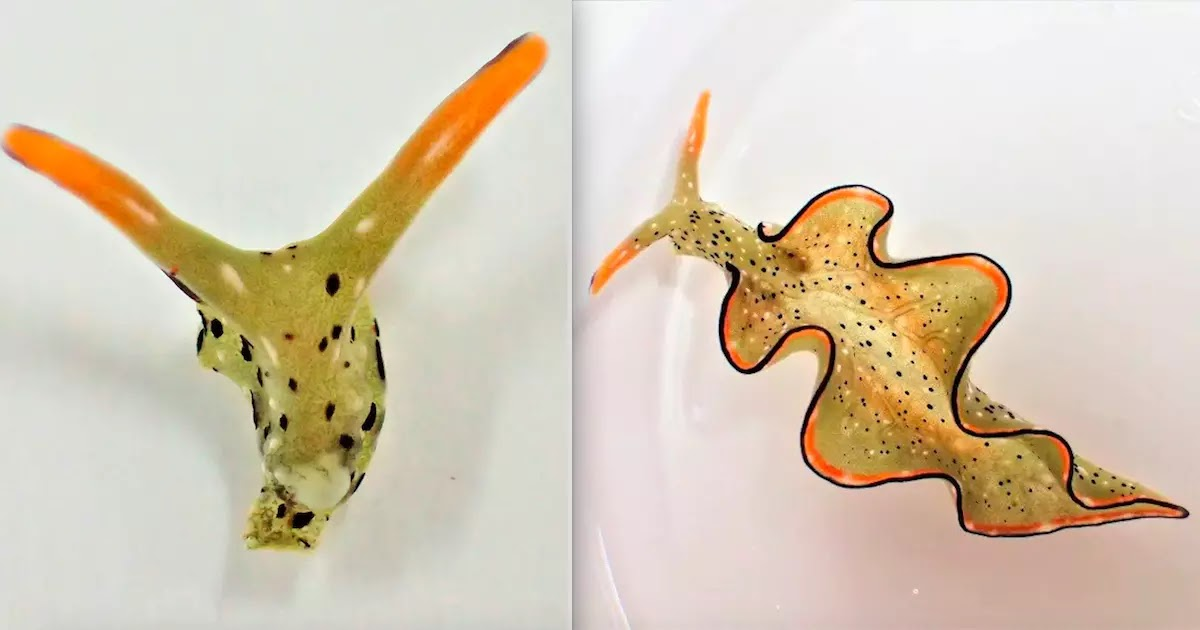 These Sea-Slugs Can Remove Their Own Heads And Regenerate Their Entire Bodies