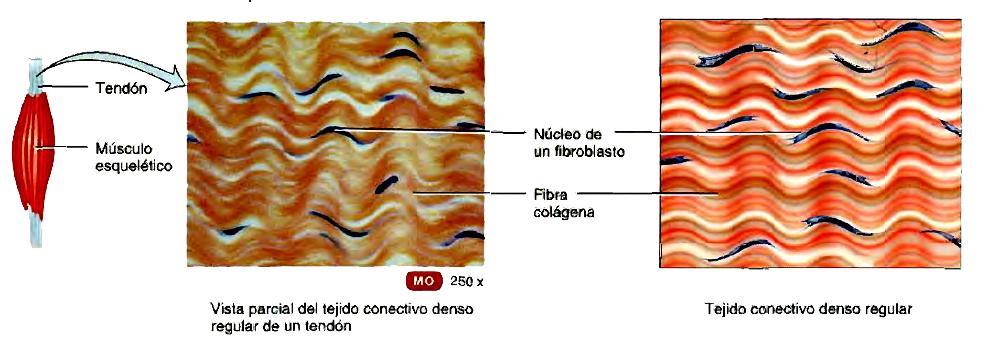 Tejido conectivo: características, función y tipos de tejidos conectivos