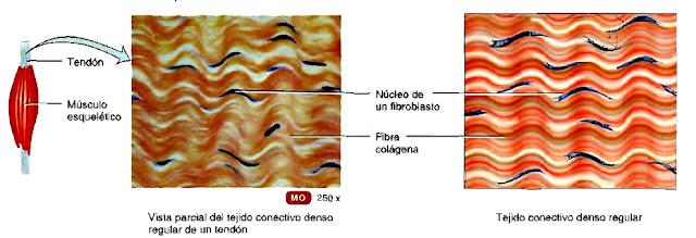 Tejido muscular esquelético