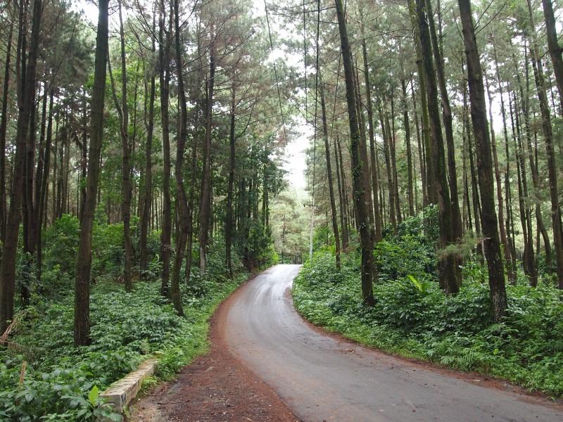 Pohon Pinus di Gunung Pancar