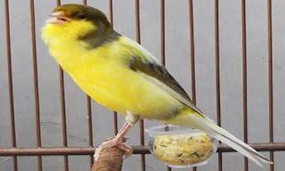 kenari gacor ngerol @miefbird.blogspot.com