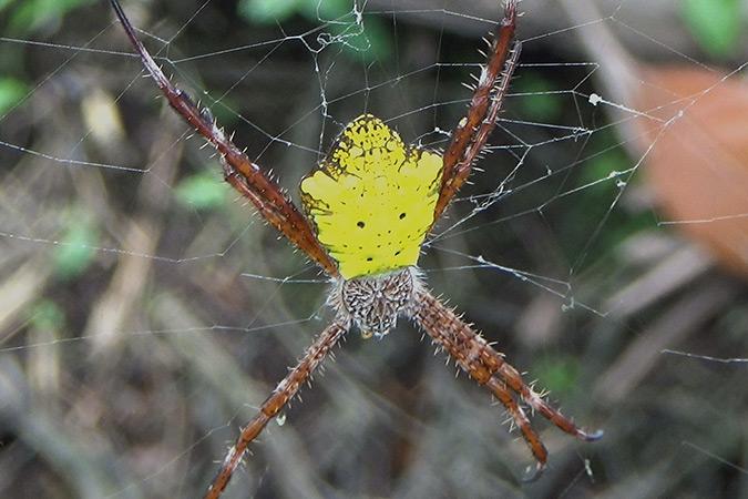 Dlium Lepen garden spider (Argiope pictula)