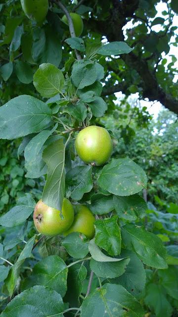 reifende Äpfel (c) by Joachim Wenk