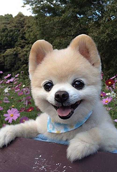 Pomeranian 500x732 Perritos o Cachorros