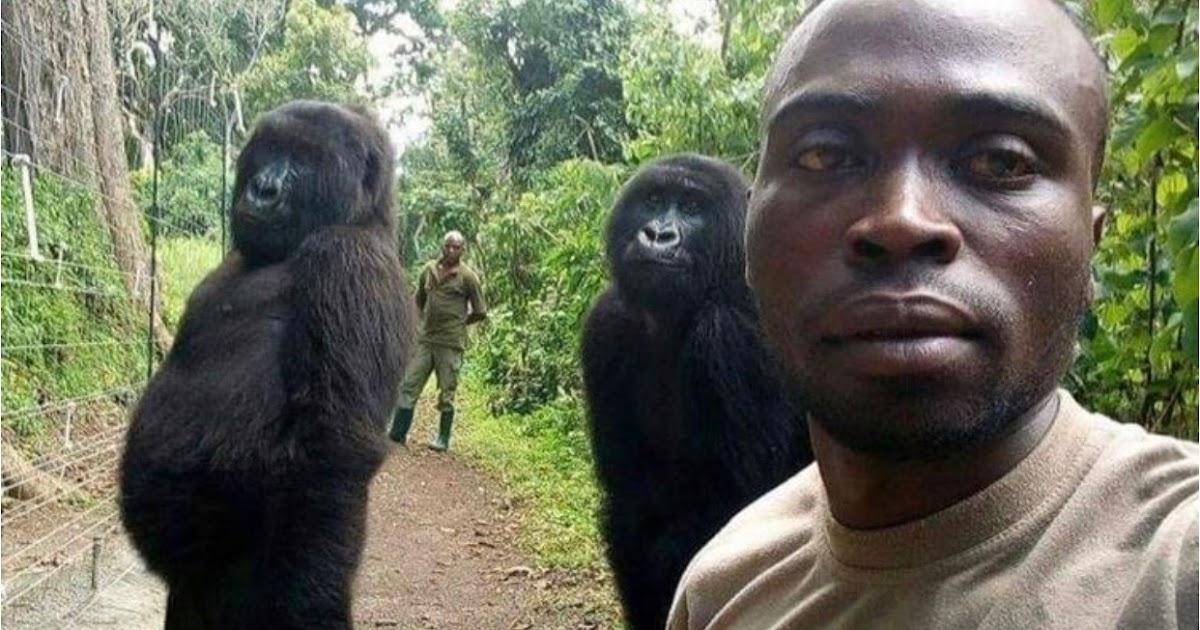 gorilla with park ranger selfie