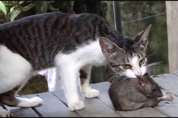Nuôi mèo là cách đuổi chuột quen thuộc