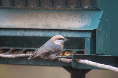Photo of Brown-headed Nuthatch at bird feeder