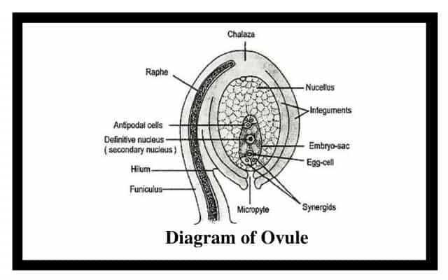 Diagram of Ovule