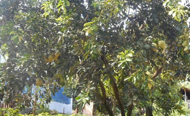 Menanam jeruk bali di halaman rumah agar berbuah lebat