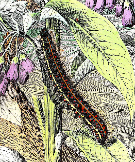 an old Peter Kolbe color illustration of a caterpillar