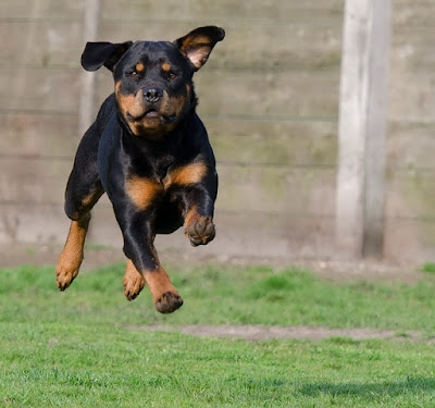 black dog breeds, small black dogs, black dogs