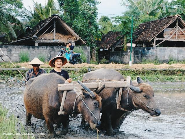wisata menanam padi dan membajak sawah di desa wisata kebon agung jogja