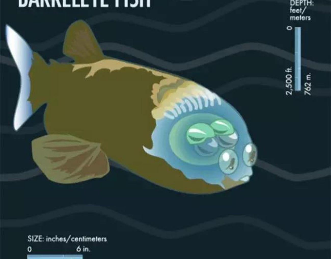 Mistério de peixe de cabeça transparente é desvendado por pesquisadores