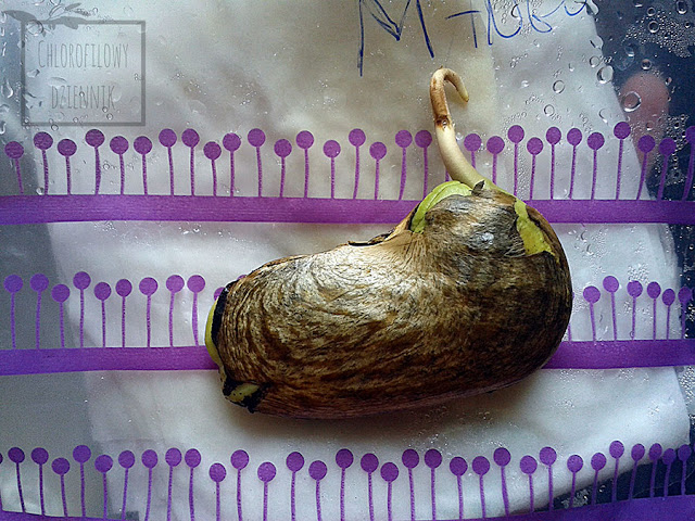 Mango z pestki. Jak wysiać mango? Łatwy sposób na uzyskanie mango. Mangifera indica z nasiona. Siew mango w domu z pestki do doniczki. Jak długo kiełkuje mango?