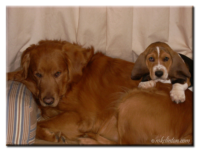Basset Hound pup with Golden Retriever. copyrighted mkclinton