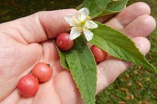 efek samping daun kersen