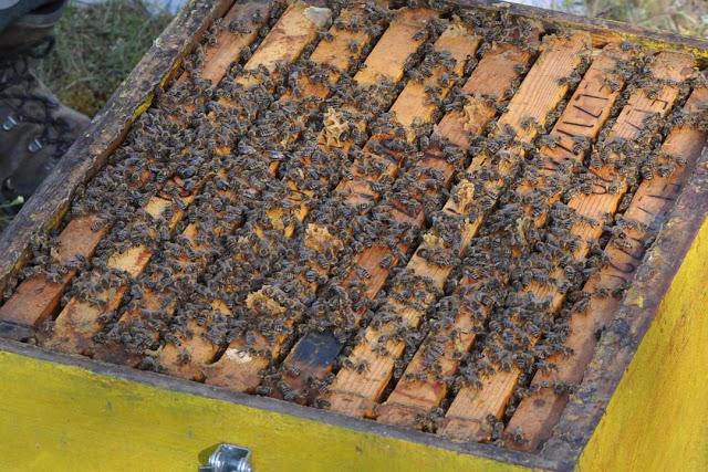 Πωλούνται 150 μελίσσια στην Ορεστιάδα έτοιμα για το πεύκο
