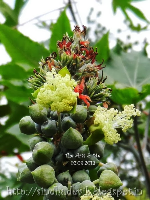 Male and female flowers of Ricinus communis