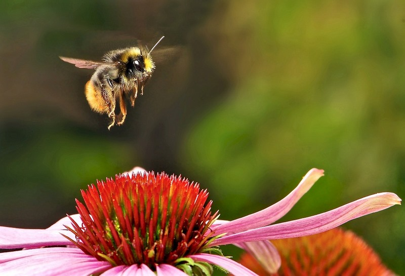 sos-polinizadores-bee-abejas-abejorros-flores