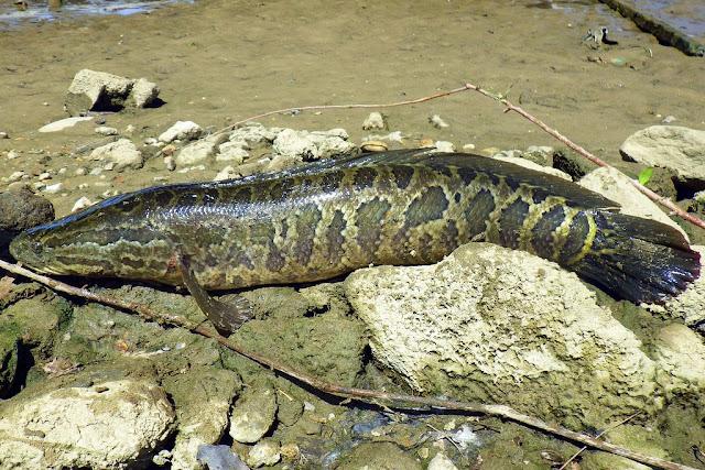 Loài cá huỷ diệt môi trường