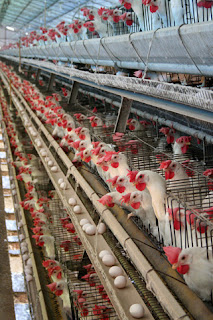 Layer Cage Poultry Farm