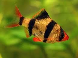 Ikan Garbus ( Puntius tetrazona )