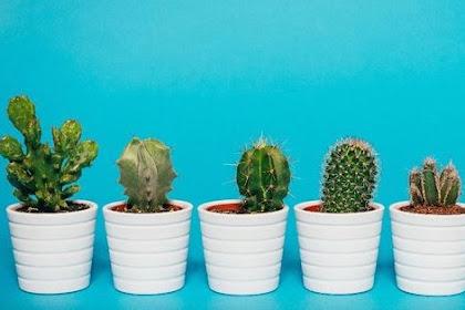 5 Jenis Kaktus Indoor Cocok Untuk Pajangan dan Tips Merawatnya