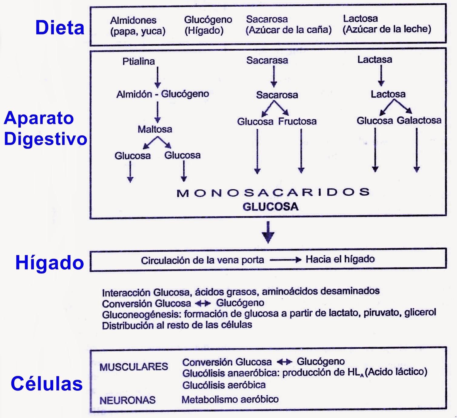Metabolismo de los carbohidratos (glúcidos)