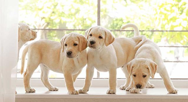 cachorros de labrador amarillo